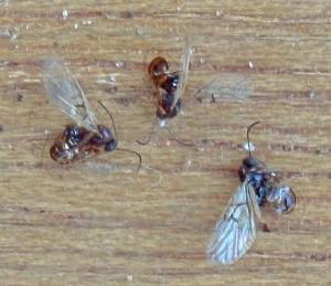 Gall Wasps